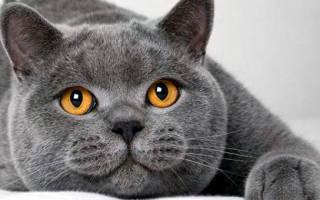 Продолжительность жизни британских кошек в домашних условиях