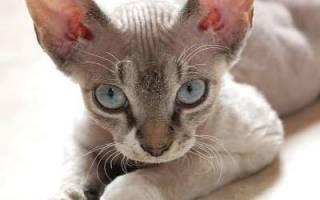 Порода кошек девон рекс описание породы