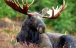 Когда лось сбрасывает рога и зачем?