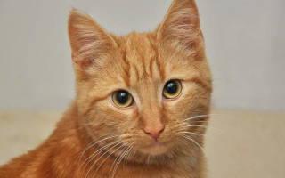 Кератит у кошек лечение в домашних условиях