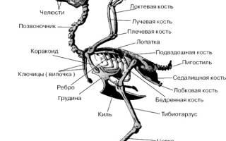 Скелет курицы с описанием