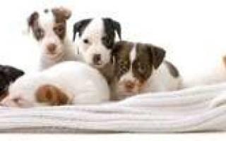 Преждевременные роды у собак – недоношенные щенки