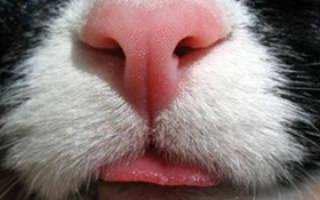 Мокрый и холодный нос у кошки