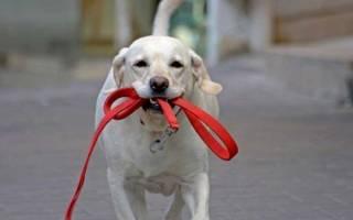 Как научить собаку не тянуть поводок?
