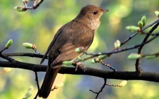 Соловей перелетная или зимующая птица