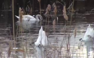 Чем питаются лебеди в природе?
