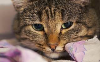 У кошки увеличены лимфоузлы на шее – у кота припухлость в паху