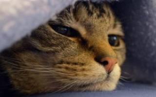 Рак у кошки опасен для человека – опухоль у кота