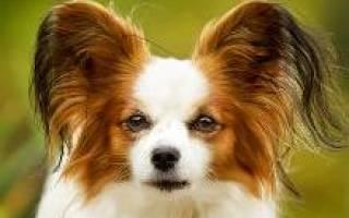 Папийон порода собак описание