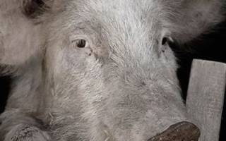 Свиной грипп симптомы у свиней