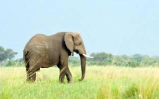 Сколько лет живут слоны в природе?