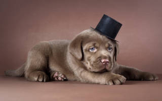 Как ухаживать за лабрадором щенком в квартире?