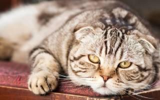 Сколько лет живут кошки шотландской породы вислоухие?