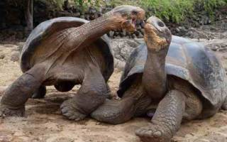 Как размножаются сухопутные черепахи в домашних условиях?