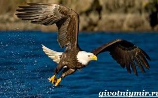 Какие бывают орлы: птица орел описание