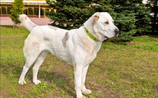 Сао собака описание породы