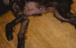 У собаки в паху красные пятна