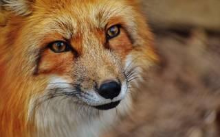 Чем лиса отличается от собаки?
