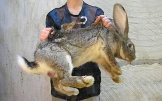 Какие породы кроликов самые крупные?