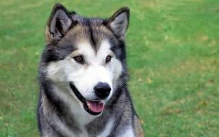 Аляскинский маламут описание породы характер собаки
