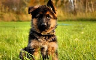 Как выбрать щенка немецкой овчарки, видео