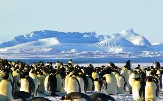 Какая порода пингвинов самая крупная?