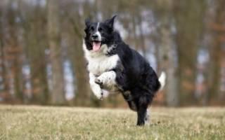 Какая порода собак самая послушная?