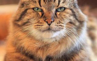Какие породы кошек долгожители?