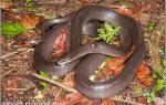 Какие животные едят змей – муссурана змея