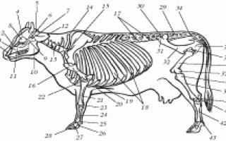 Скелет коровы с обозначениями, кости КРС