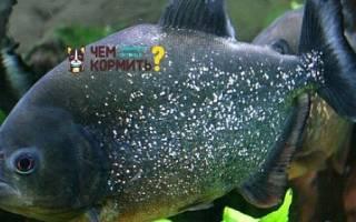 Чем кормить пиранью в аквариуме?