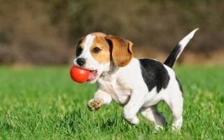 Порода собаки бигль фото цена
