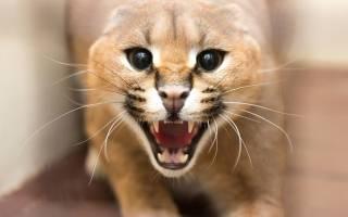 Что за порода кошек похожих на рысь?