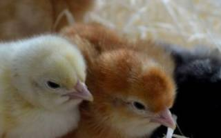 Куриные какашки – кровавый понос у кур