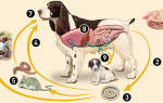 Как правильно глистогонить щенка, глистование перед прививкой