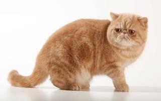 Экзот кошка описание породы и характера