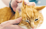 У кошки чешутся уши что делать – у кота гниет ухо