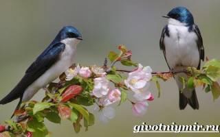 Перелетные птицы ласточка описание