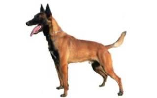 Малинуа порода собак описание