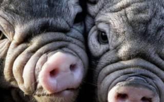 Китайские свиньи описание