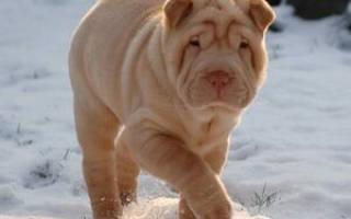 Собака шарпей фото и цена, минипей описание породы
