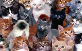 Какая порода кошек самая здоровая?