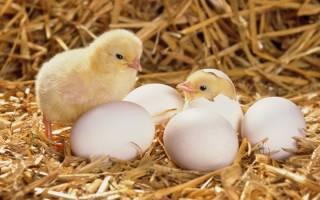 Что делать когда вылупляются цыплята в инкубаторе – цыпленок вылупился