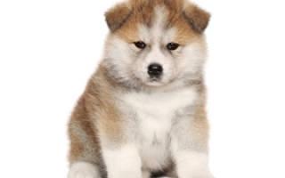Стоимость щенка акита ину в России