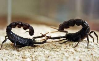 Самка скорпиона съедает самца после спаривания