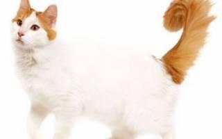Порода кошек турецкий ван описание породы