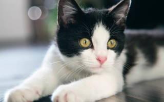 У котенка бельмо на глазу как лечить