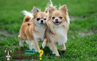 Чихуахуа мини уход и содержание кормление, чем кормить щенка чихуа?