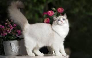 Рэгдолл кошка описание породы и характера