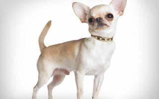 Сколько живут собаки породы чихуахуа?